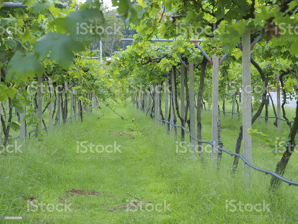 grape plant stock photo