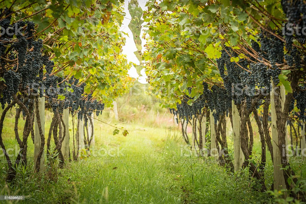 Grape Plantation stock photo