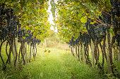 Grape Plantation