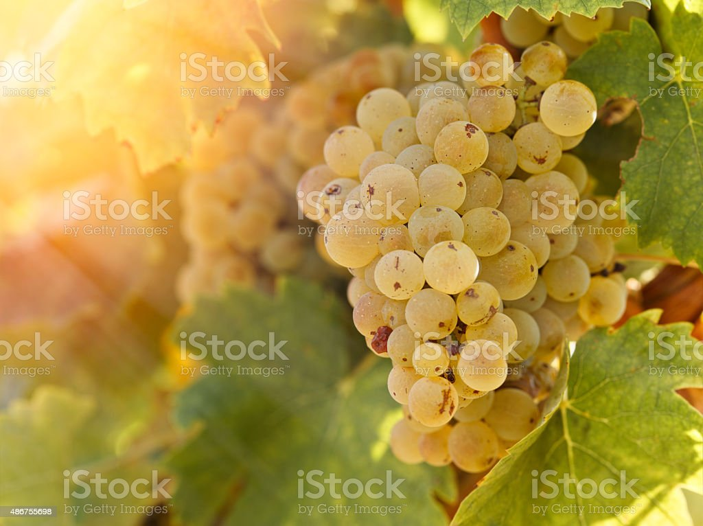 Grape Riesling in vineyard in late afternoon stock photo