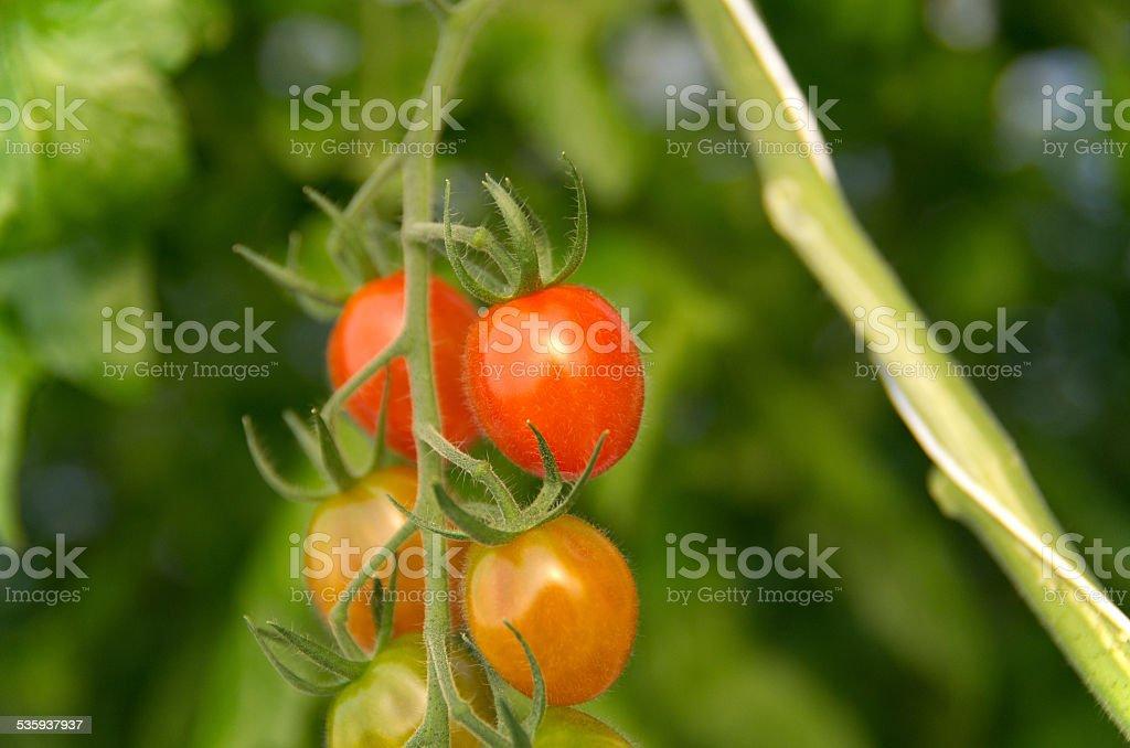 Grape Tomato Closeup stock photo