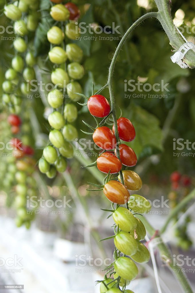 Grape Tomatoes on Vine royalty-free stock photo