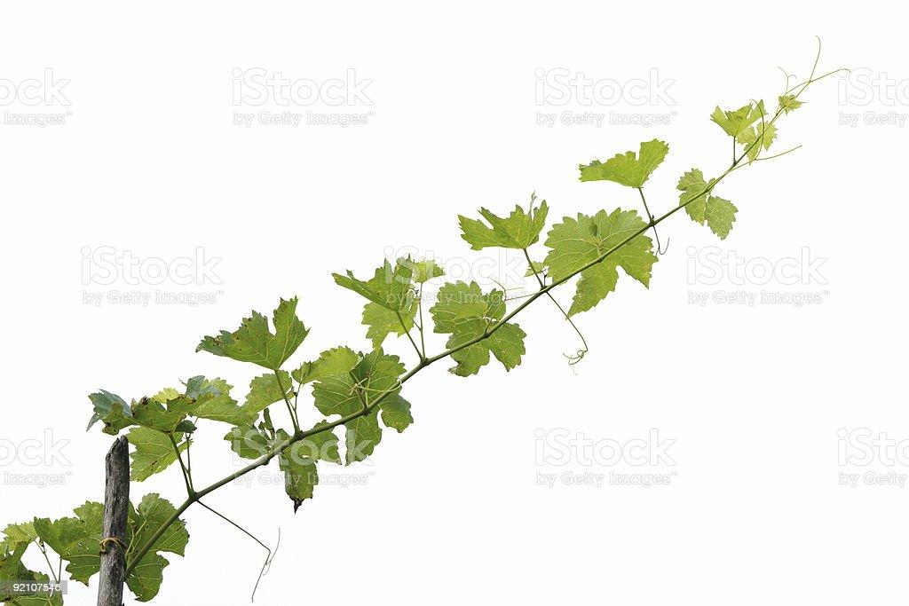 Grape tree branch royalty-free stock photo