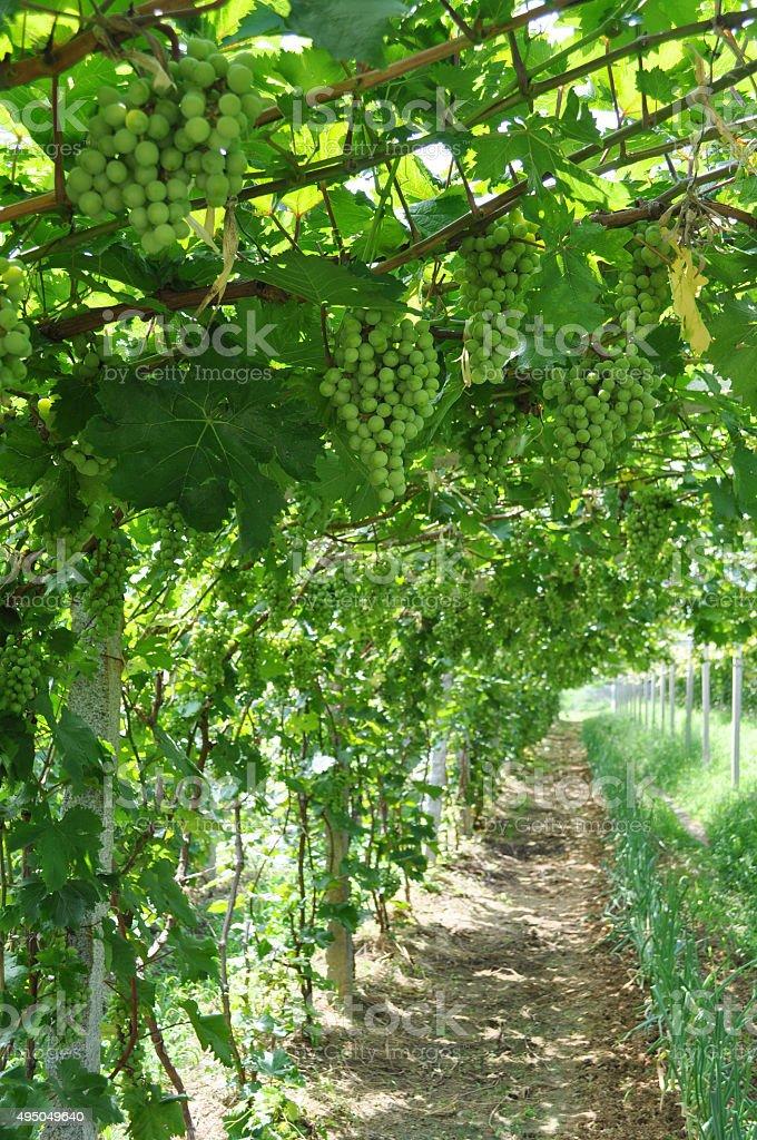 Grape trellis stock photo