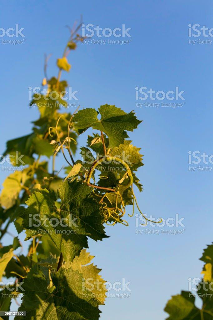 Grape vine at California vineyard in the morning stock photo