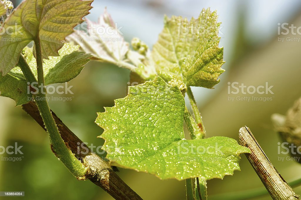 grape vine branch royalty-free stock photo
