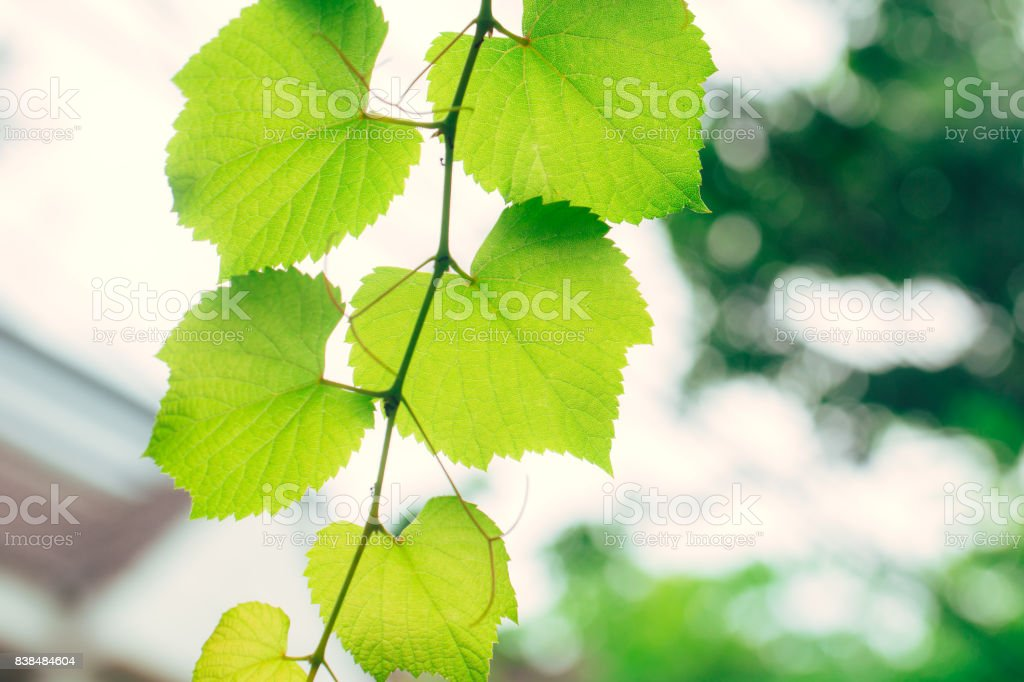 Grape vine green garden nature ecology. Closeup high detail green leaf texture with chlorophyll and process of photosynthesis in plant. stock photo