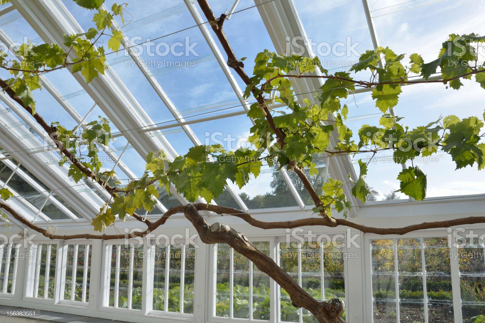 grape vine in greenhouse royalty-free stock photo