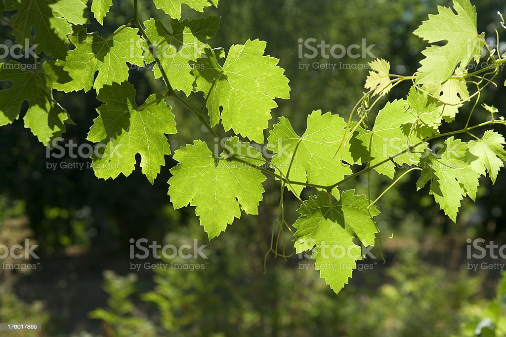 Grape vine leaves royalty-free stock photo