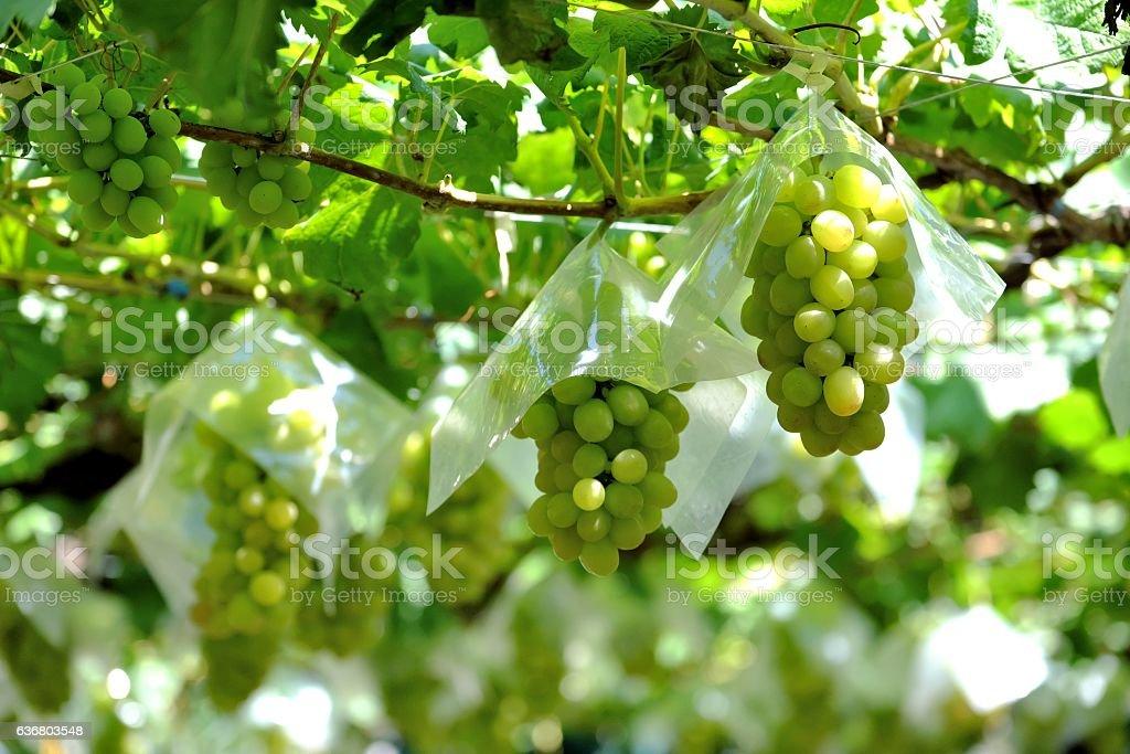 Grape vine of Katsunuma in Ymanashi Japan stock photo