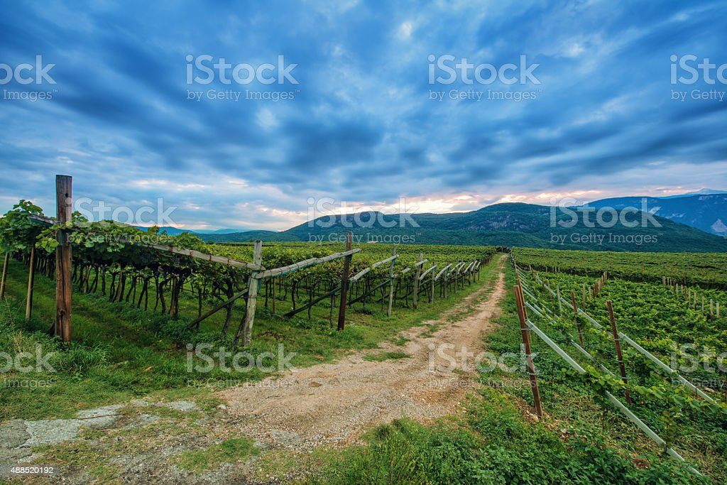 grape vine plants at dawn in south tyrol stock photo