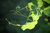 Grape Vine Tendrils