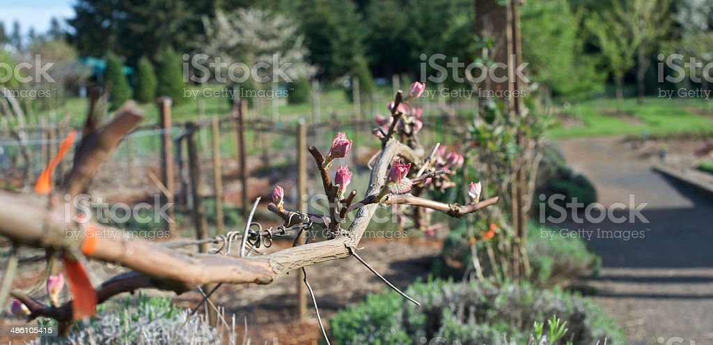 Grape Vine with Bloom in the Spring The Oregon Garden royalty-free stock photo