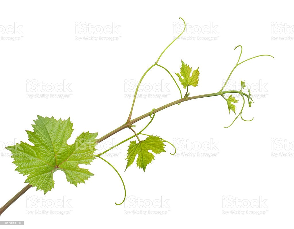 Grape vine with leaves on white background stock photo