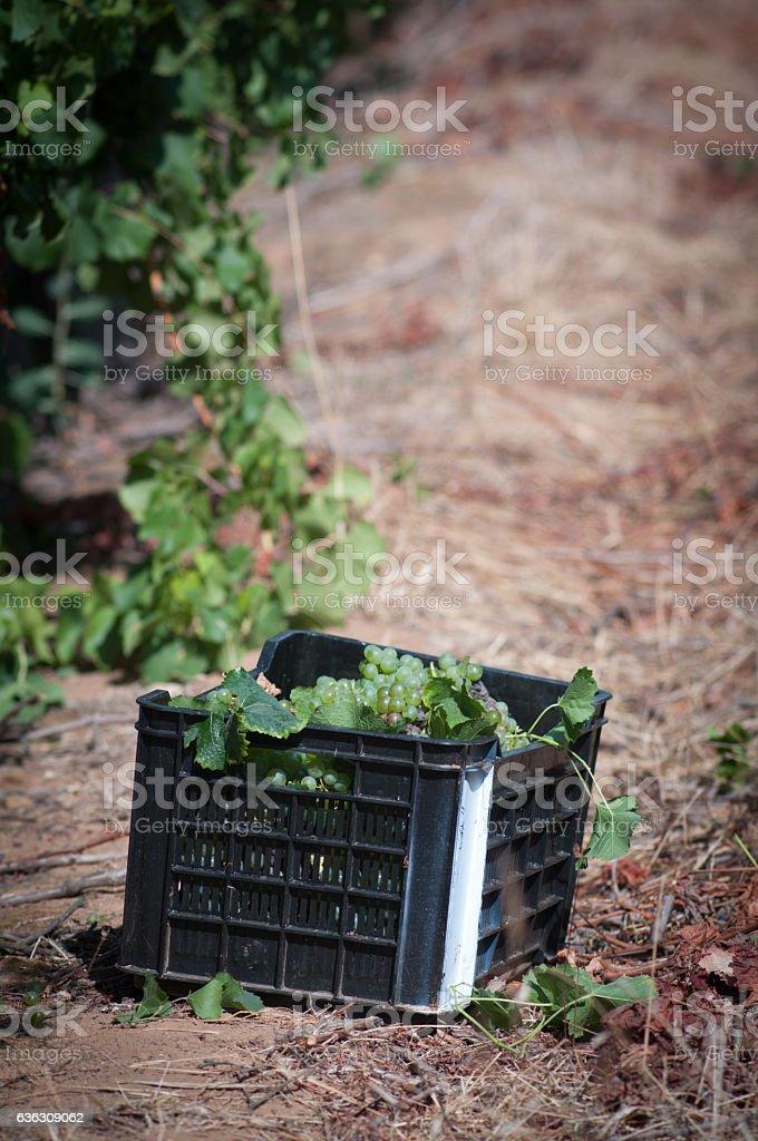 Grape Vines baskets stock photo