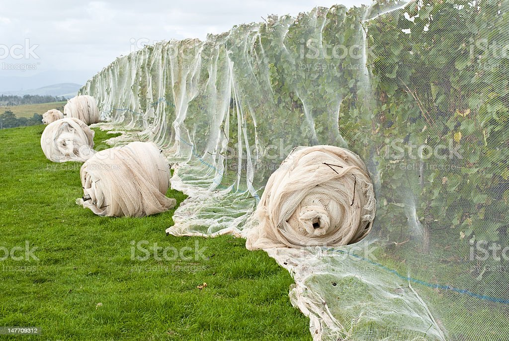 Grape vines covered with bird netting royalty-free stock photo
