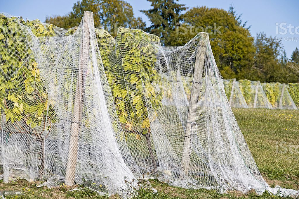 Grape vines covered with netting for protection from deer royalty-free stock photo