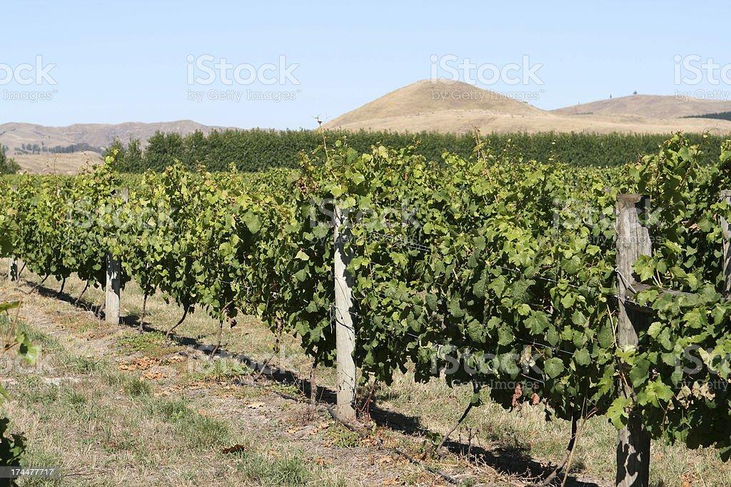 Grape vines, Hawkes Bay, New Zealand stock photo