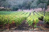 Grape Vines in a Napa Valley vineyard