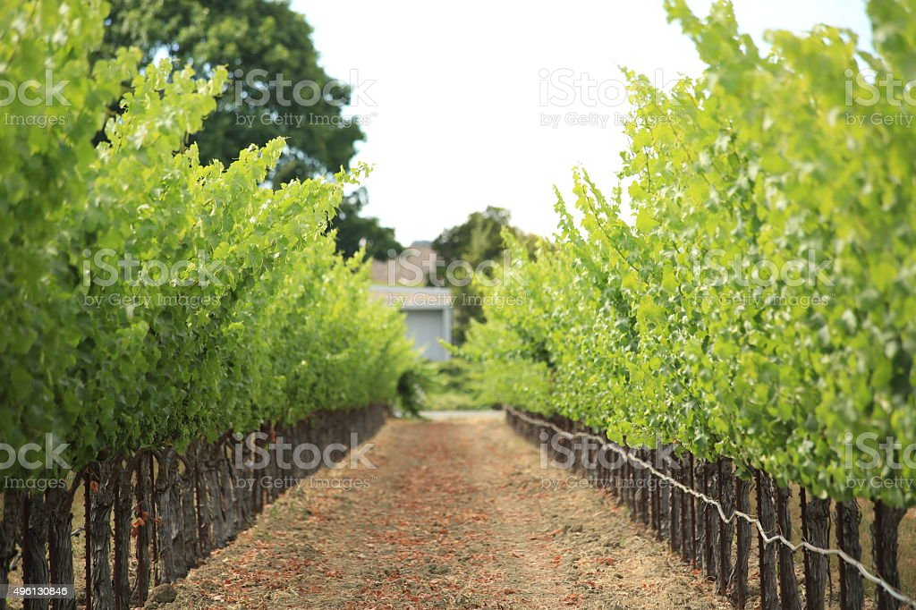 Grape vines in a row. stock photo