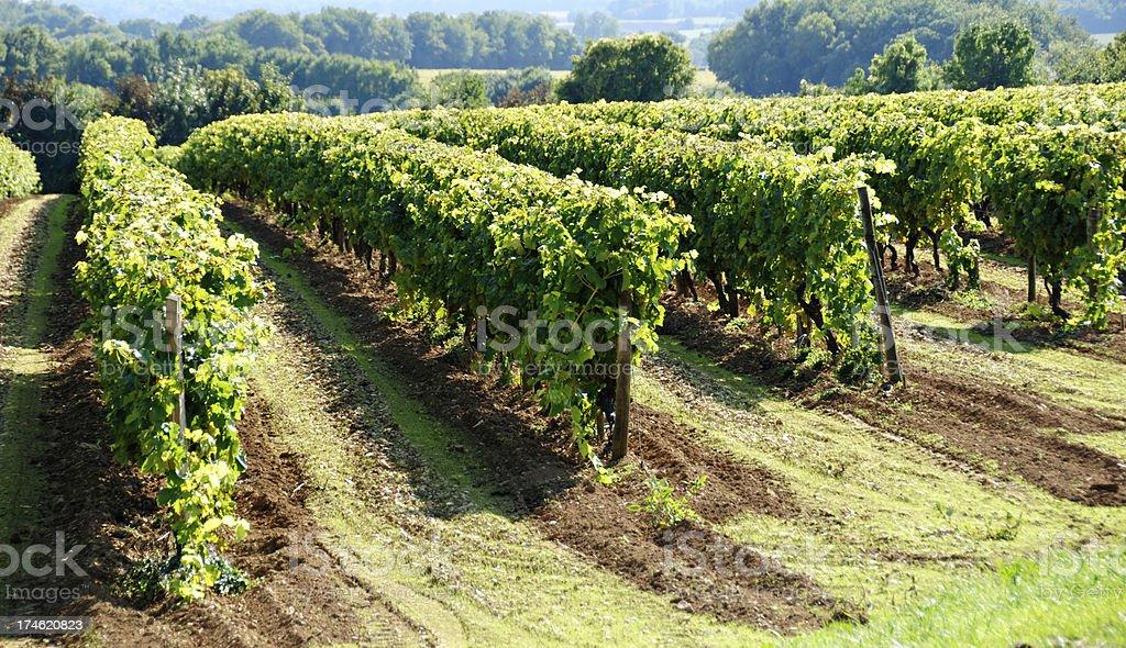 Grape Vines in a Vineyard near Cognac stock photo