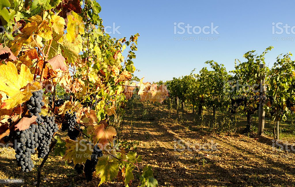 Grape Vines in a Vineyard near Cognac stock photo