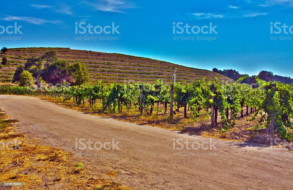 Grape vines in a wine vineyard stock photo