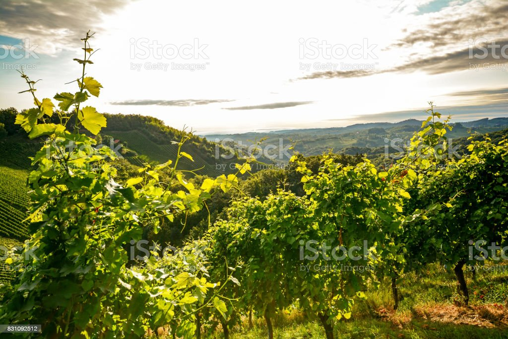 Grape vines in an old vineyard in the tuscany winegrowing area, Italy Europe stock photo