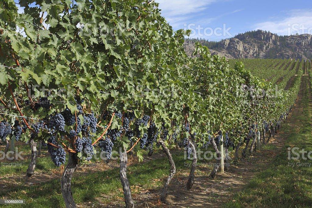 Grape Vines, Okanagan royalty-free stock photo