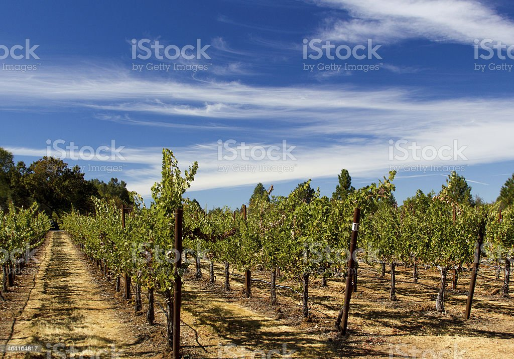 Grape vines on a vineyard stock photo