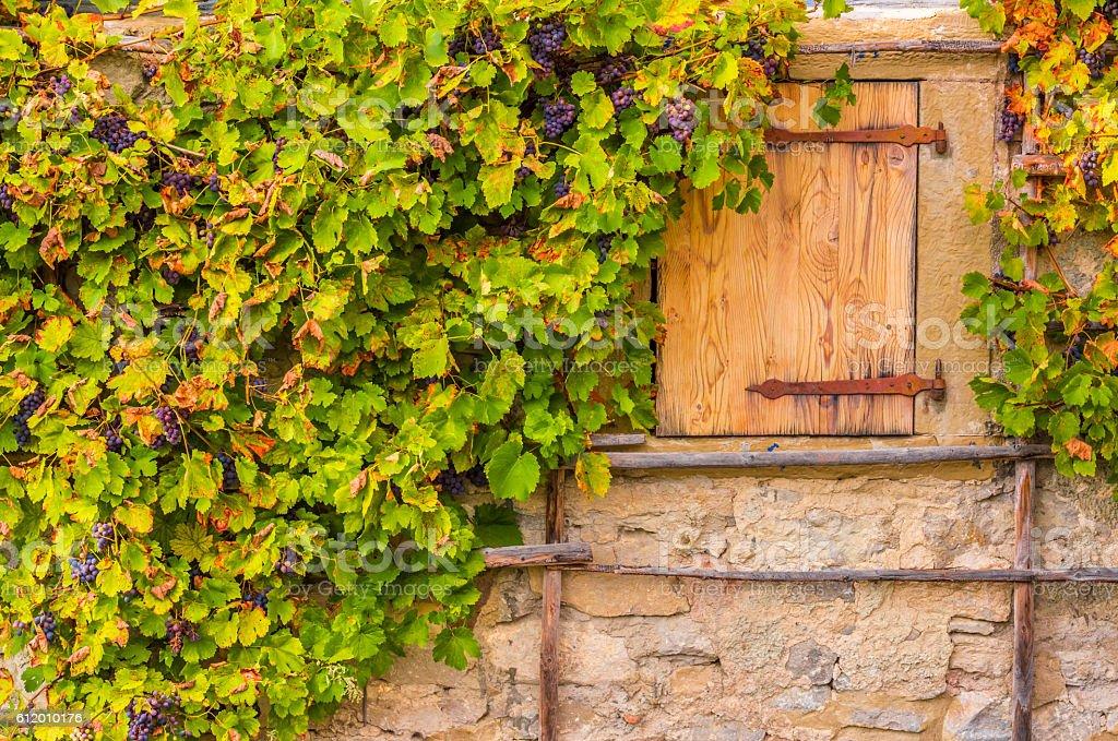 Grape vines on house wall stone stock photo