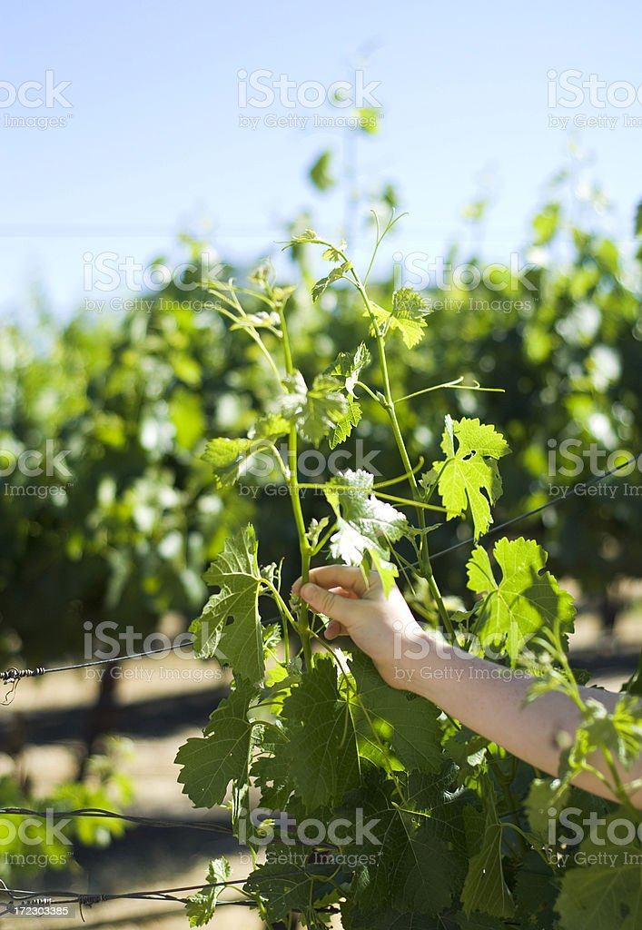 Grape Vines on Paso Robles California Vineyard, Learning About Viticulture stock photo