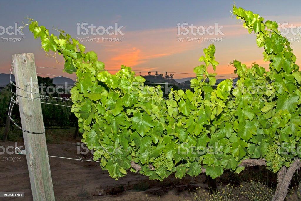 Grape vineyard at California winery during sunrise stock photo