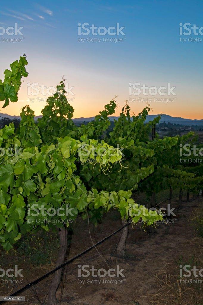 Grape vineyard during sunrise at California winery stock photo