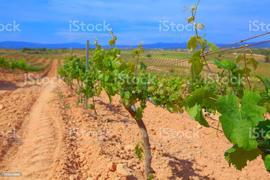 Grape vineyard vine harvest agriculture Spain stock photo