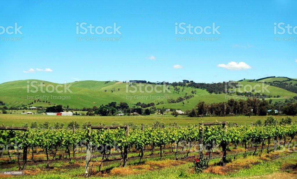 Grape Vineyard with Blue Sky stock photo