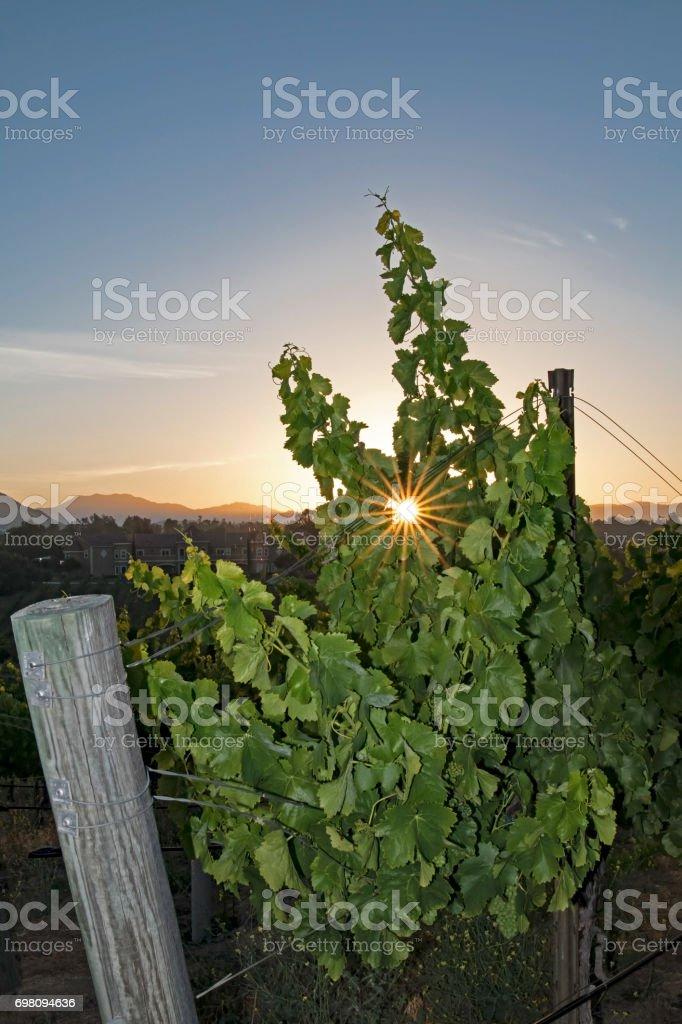 Grape vineyard with sun rays at California winery stock photo