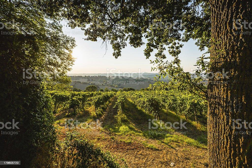 Grape Vinyard royalty-free stock photo