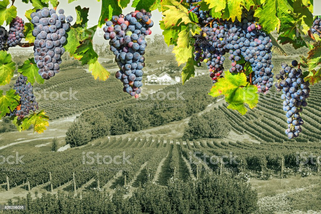 Grape wineland countryside stock photo