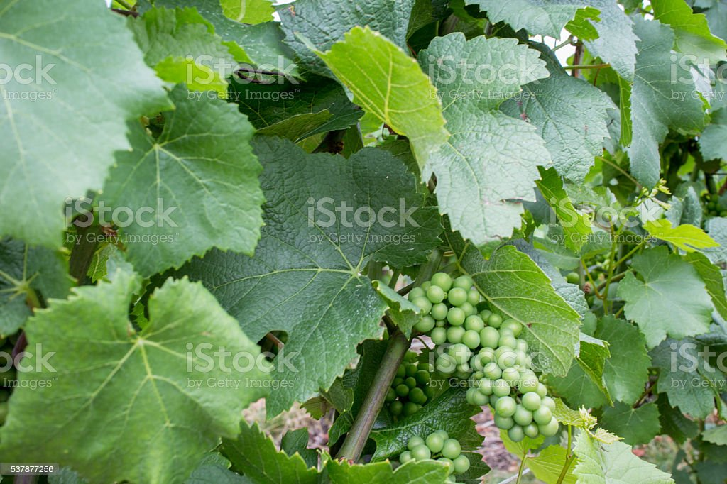 Grape with green leaves stock photo