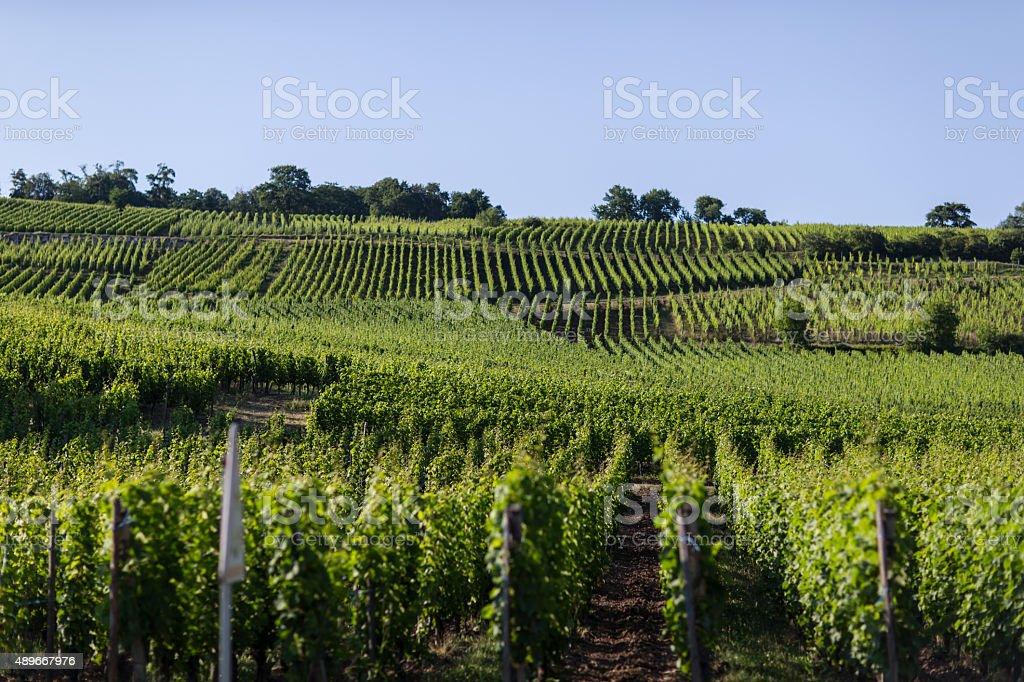 Uva en Eguisheim jardín foto de stock libre de derechos