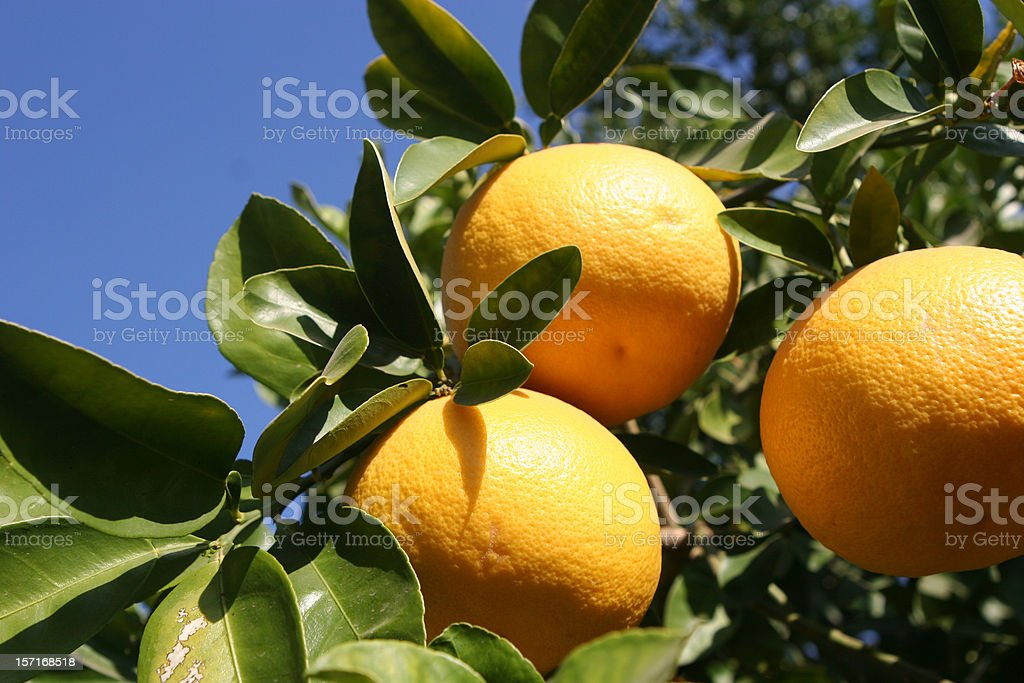 Grapefruit tree close-up to the fruit stock photo