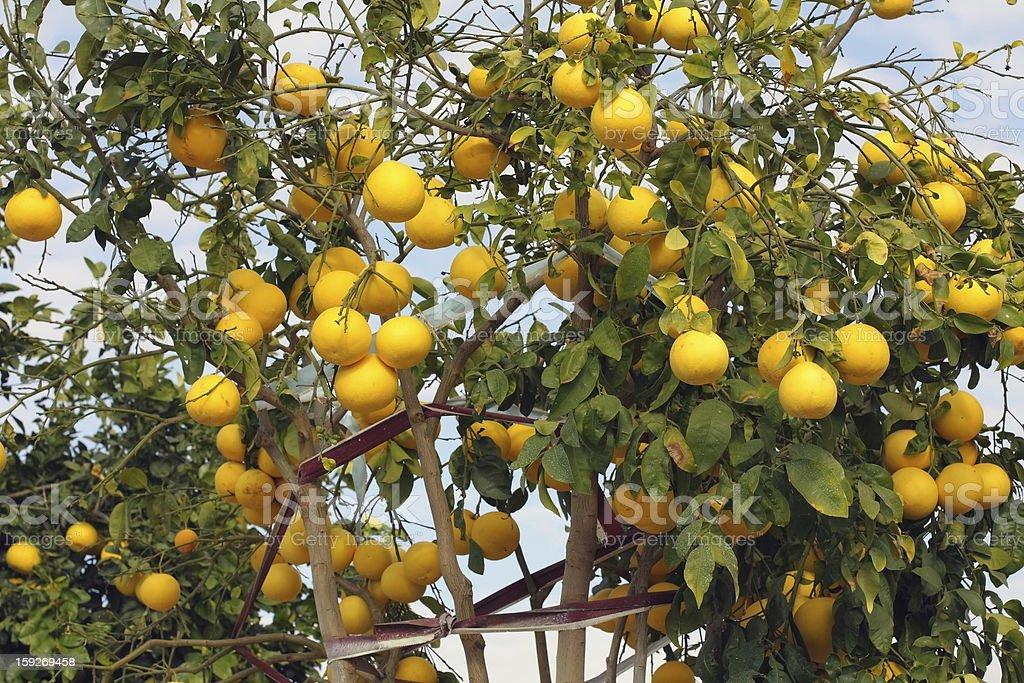 grapefruit tree royalty-free stock photo