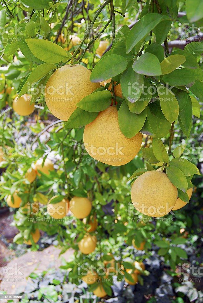 grapefruits on the vine stock photo