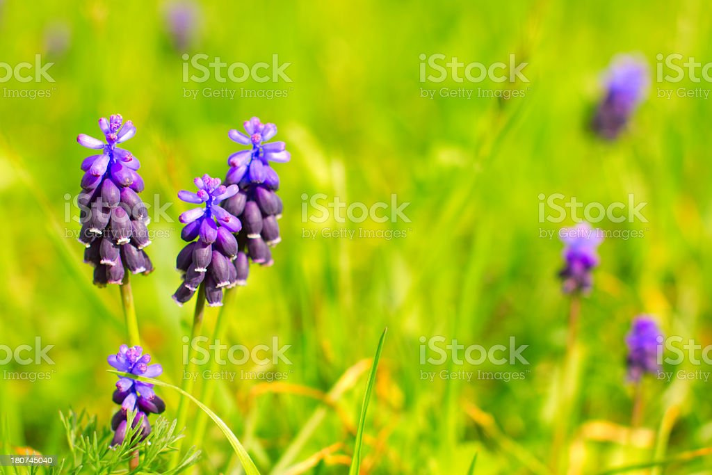 Grape-Hyacinth. royalty-free stock photo