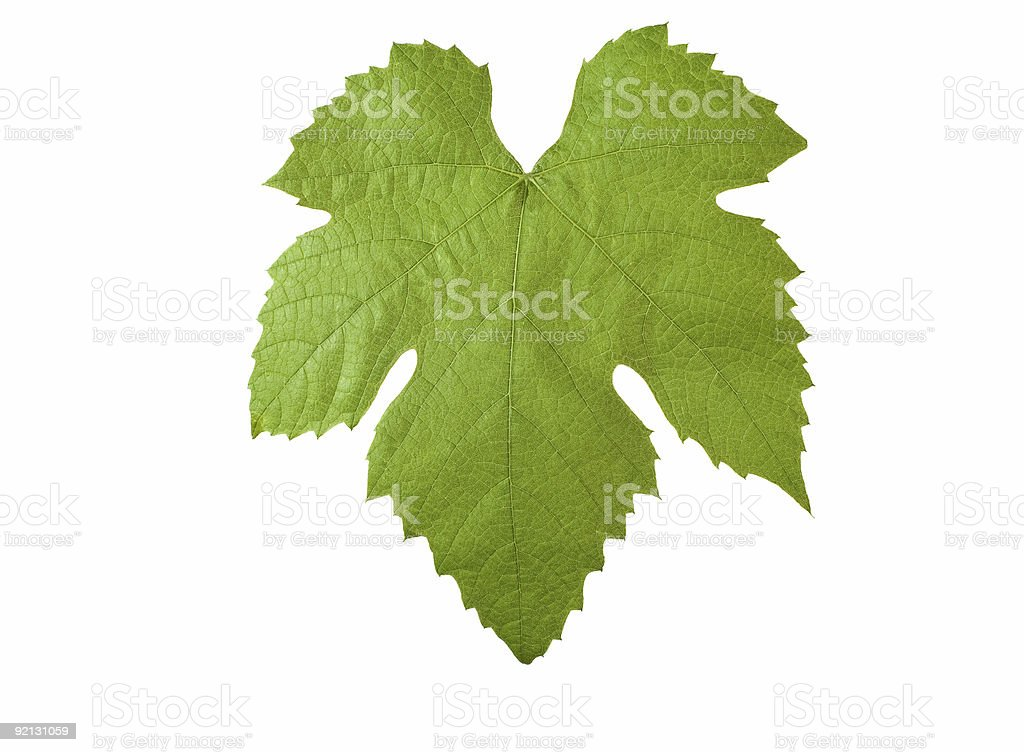grape-leave with clipping path stock photo