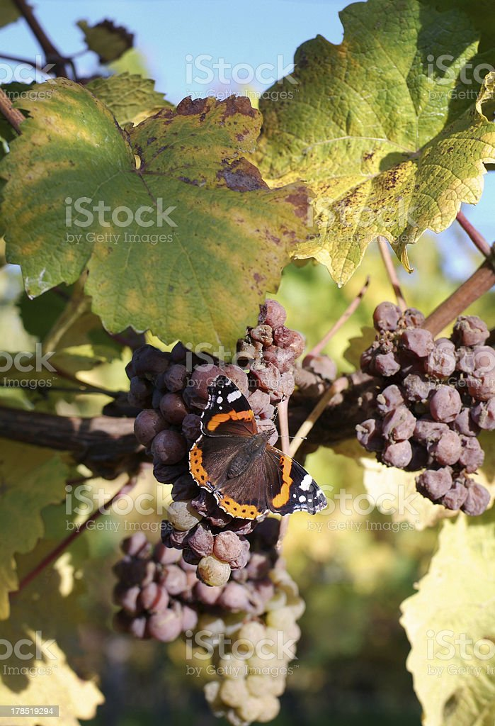 grapes and butterfly stock photo