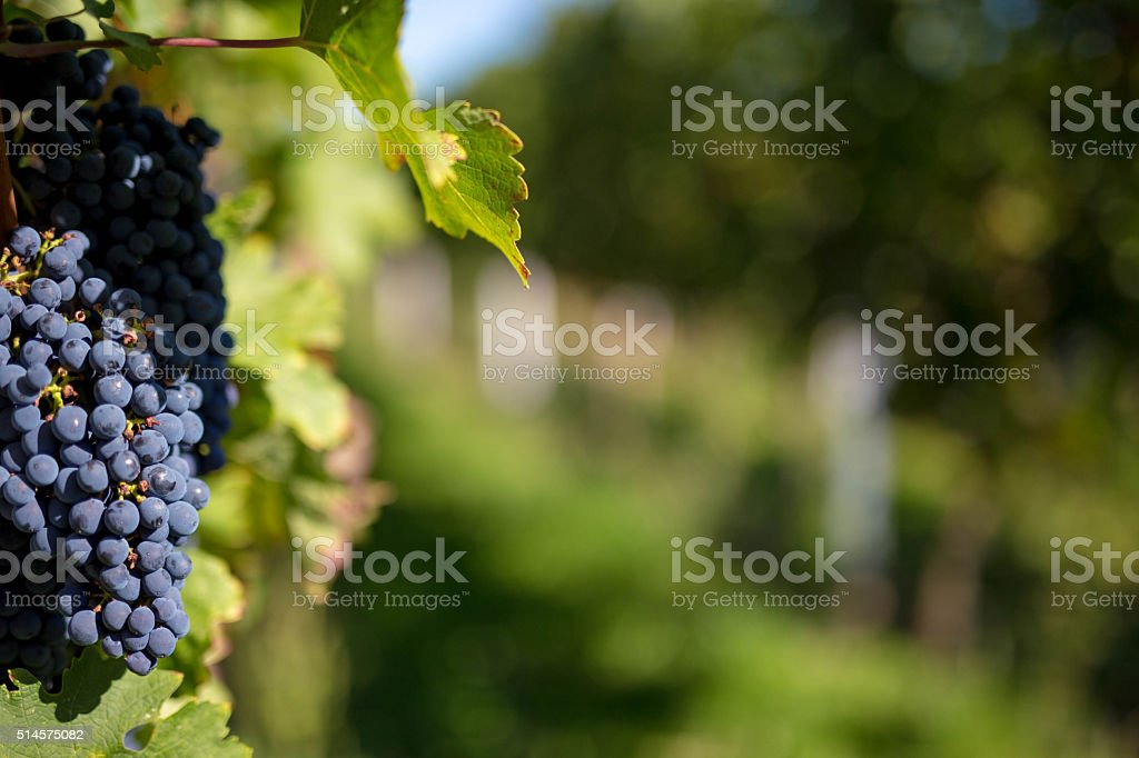 Grapes and Grapevine stock photo
