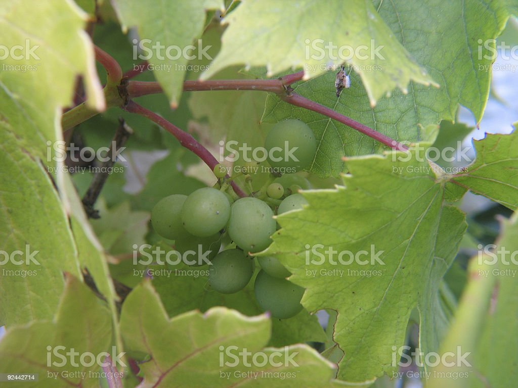 grapes and leaves royalty-free stock photo