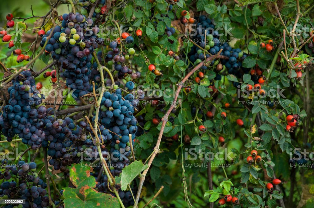 grapes and rose hips - mix of different fruits stock photo